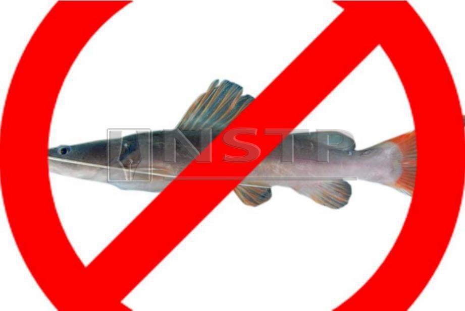JABATAN Perikanan tidak pernah keluarkan permit bawa masuk ikan baung ekor merah. -Foto Agensi