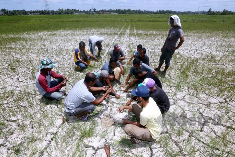 Keadaan sawah padi yang kering kontang disebabkan cuaca panas. FOTO Zaman Huri Isa