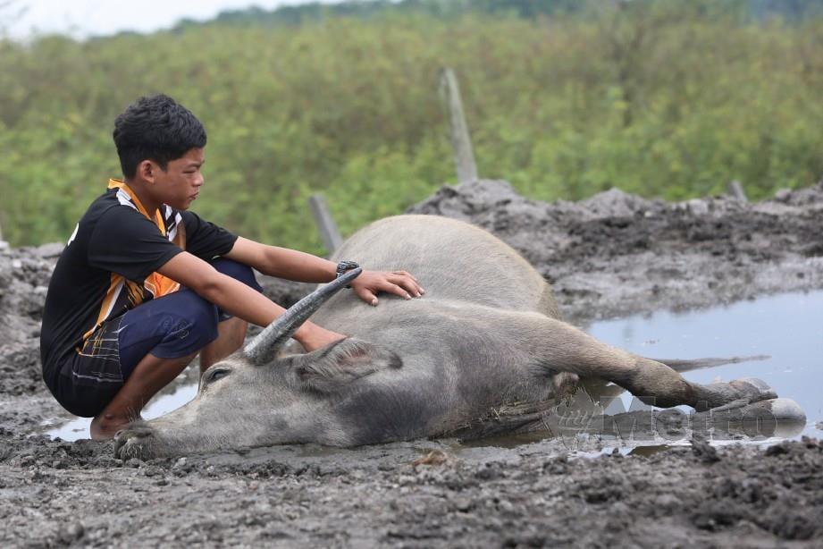 MUHAMMAD Syukur sebak memerhati kerbau ternakannya mati mengejut, kelmarin. FOTO Ghazali Kori