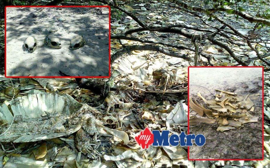 Rangka penyu yang ditemui di pantai beberapa kampung di Pulau Bum-Bum, Semporna. FOTO ihsan JHL Sabah