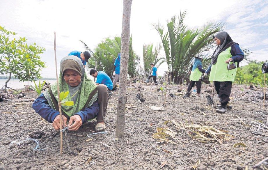 SEORANG penduduk mengikat kayu pada anak pokok bakau bagi mengelak terjatuh.