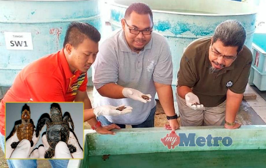 ZAWAWI (kanan) bersama kakitangan Jabatan Perikanan negeri Terengganu menunjukkan anak penyu lipas yang menetas selepas 14 tahun penyu terbabit tidak naik bertelur di negeri ini. Gambar kecil, anak penyu lipas yang baru menetas dari telur. FOTO Rosli Ilham.