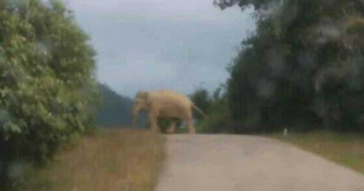 Gajah pula muncul di Felda Perasu