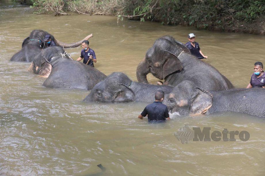 PELANCONG berpeluang melihat gajah mandi di sungai di PKGK Kuala Gandah. FOTO Mohd Rafi Mamat