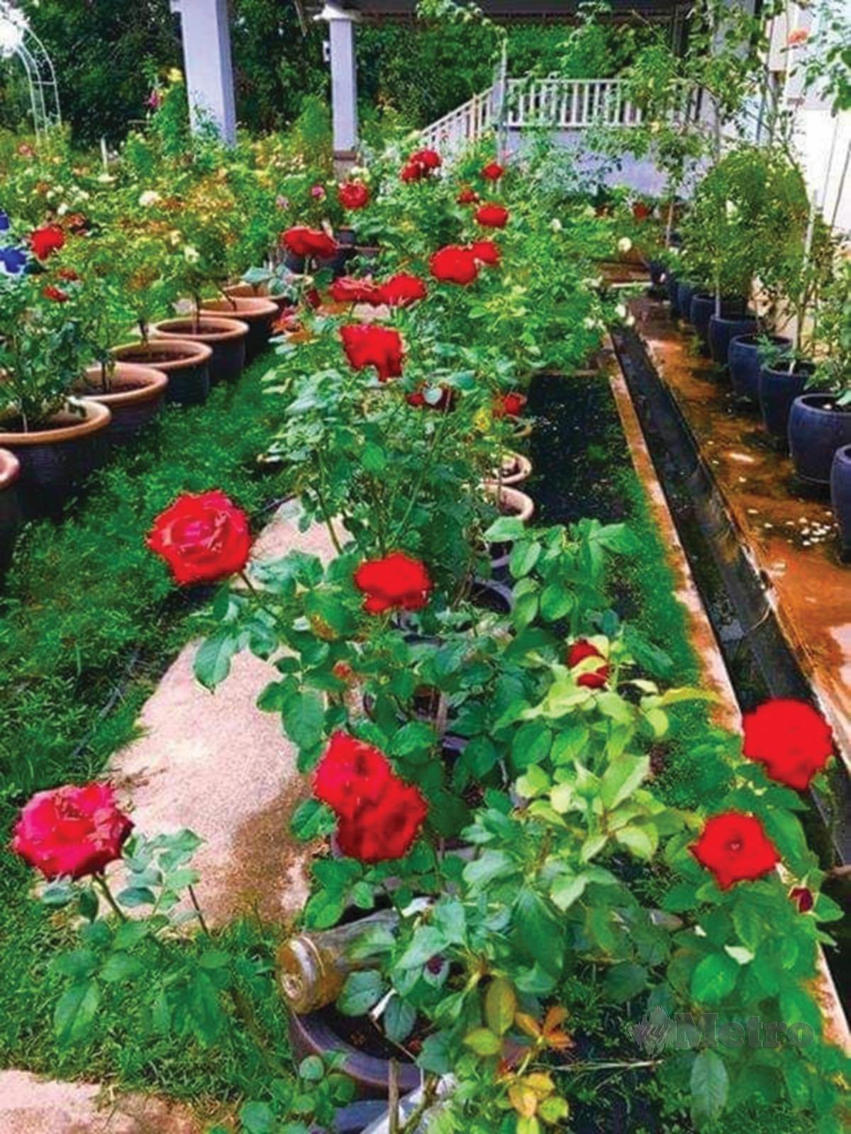 ANTARA jenis bunga ros yang ditanam.