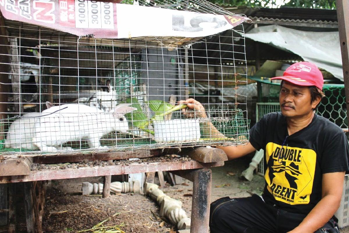 TERNAKAN arnab diusahakan di kawasan rumah.