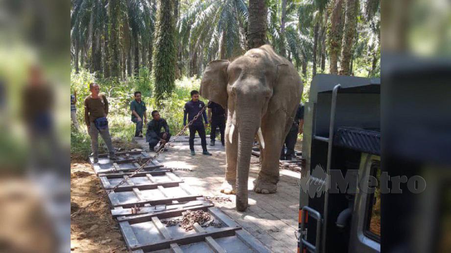 SEEKOR daripada dua gajah yang berjaya 'dipujuk' PERHILITAN Kelantan di Kampung Kalai di Jeli. FOTO Ihsan PERHILITAN Kelantan