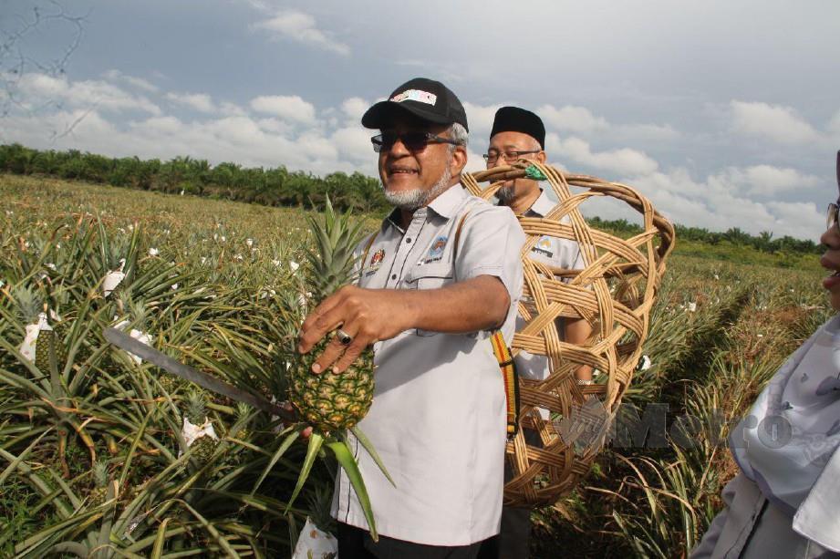 Abdul Malik memetik buah nanas di Ladang Alor Bukit, Pekan Nanas, Pontian.