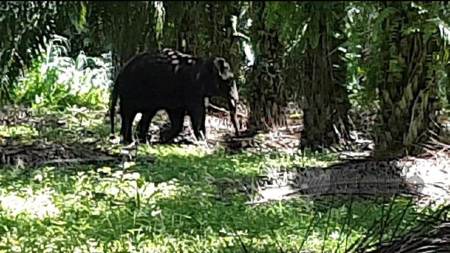 Gajah Pigmy Borneo dikesan berkeliaran di kawasan ladang kelapa sawit.