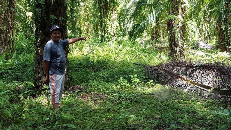 Baharun menunjukkan lokasi gajah kerap dilihat berkeliaran di kawasan ladan kelapa sawit di Kampung Jagung, di sini. FOTO Abdul Rahemang Taiming.