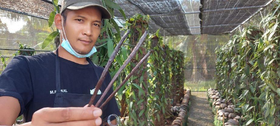 Mohamad Feisal Mohamed Norawi menunjukkan batang vanilla yang ditanam di Amani Vanilla Temerloh, Temerloh. FOTO Asrol Awang