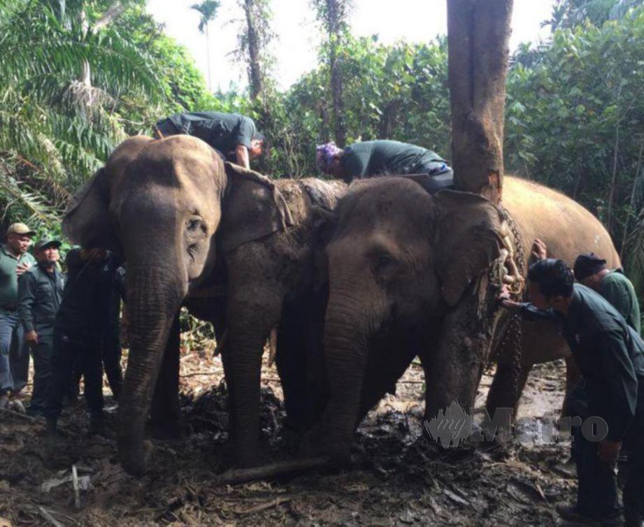 Salah satu operasi pemindahan gajah yang dilakukan oleh Jabatan Perlindungan Hidupan Liar dan Taman Negara PERHILITAN Negeri Johor di kawasan Hutan Simpan Kekal Panti di Kota Tinggi. FOTO IHSAN PERHILITAN