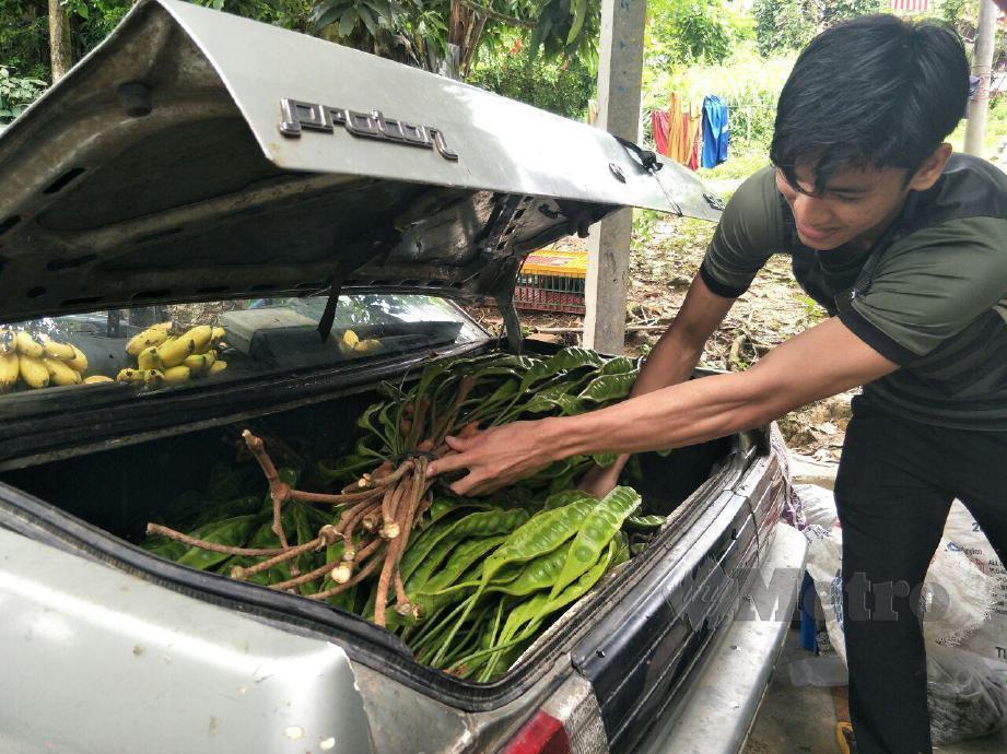 Muhammad Izzat Azra memuatkan petai dalam kereta bapanya untuk dijual disekitar Kampung Limau Kasturi dan Bandar Gua Musang untuk menyimpan wang bagi perbelanjaan masuk univerlsiti tahun depan. FOTO RAMLI IBRAHIM