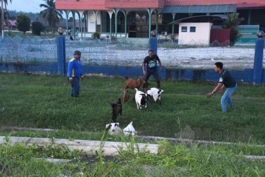 Anggota penguat kuasa MDKS merampas tiga ekor kambing dalam operasi di tiga lokasi sekitar daerah ini pada 24 September lalu. FOTO IHSAN MDKS