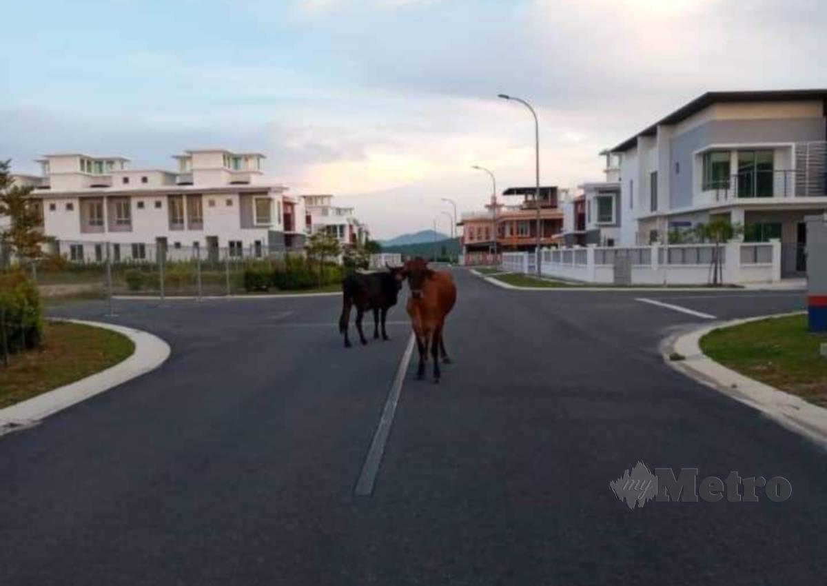 Antara sebahagian lembu yang berkeliaran di kawasan perumahan di Bandar Springhill menimbulkan rasa tidak selesa penduduk di Bandar Springhill, Port Dickson. FOTO MOHD KHIDIR ZAKARIA