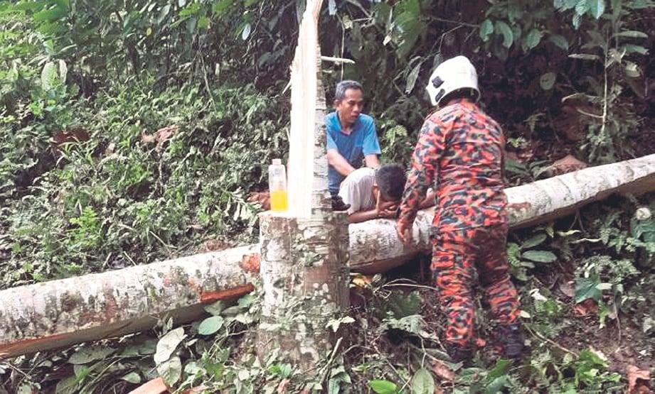 ALFIAN nyaris maut apabila dihempap pokok yang ditebangnya di kebun milik  penduduk Kampung Petaseh Jelatang, semalam.