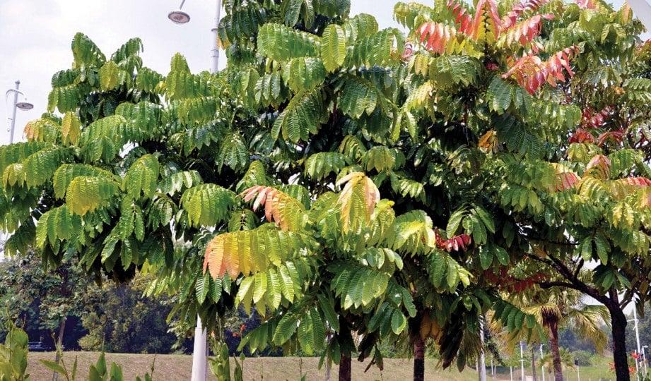 DAUN pokok kasai ini memberikan impak landskap sejuk mata memandang.