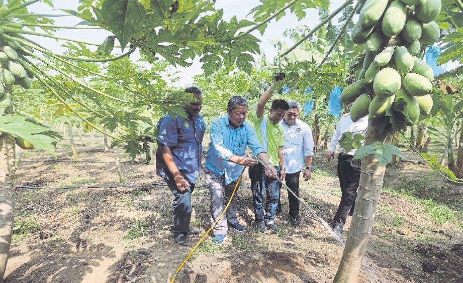 TEKNOLOGI ISR digunakan untuk menyembur pokok betik.