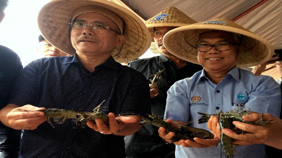 RONALD Kiandee (kiri) dan Ketua Pengarah LKIM Othman Abdul Latiff menunjukkan udang harimau  yang dituai. FOTO Bernama.