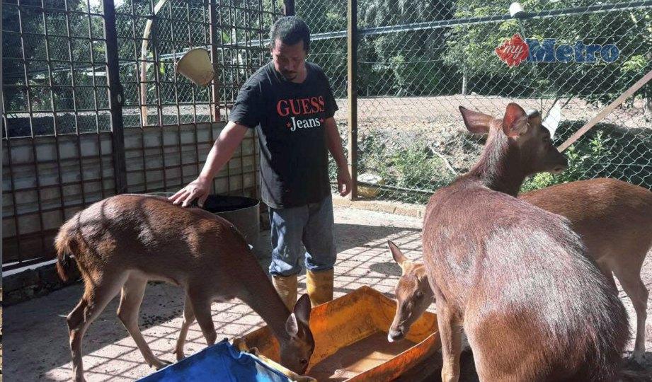 RAMLI memberi makan rusa yang diternak di ladangnya. FOTO Ahmad Rabiul Zulkifli