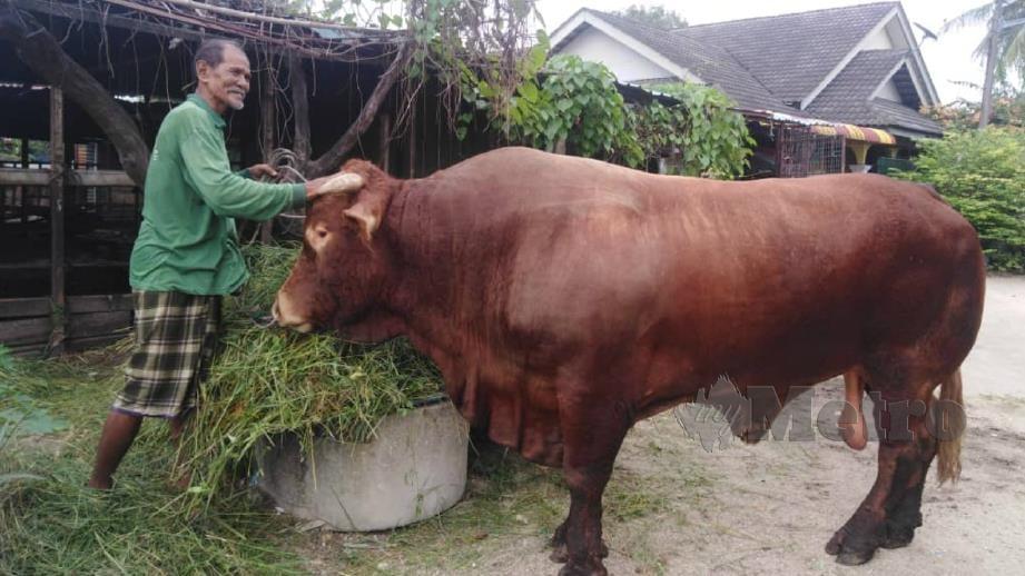 Ab Rahim bersama lembu ternakannya baka Limousine. FOTO Hazira Ahmad Zaidi
