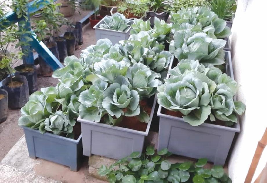 ANTARA sayuran yang menghiasi laman rumah Suhafiza.