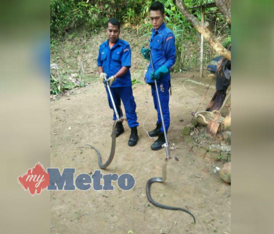 DUA ekor ular tedung senduk yang ditangkap anggota APM di Kampung Baru, Jalan Hospital, Baling, petang semalam. FOTO Ihsan APM