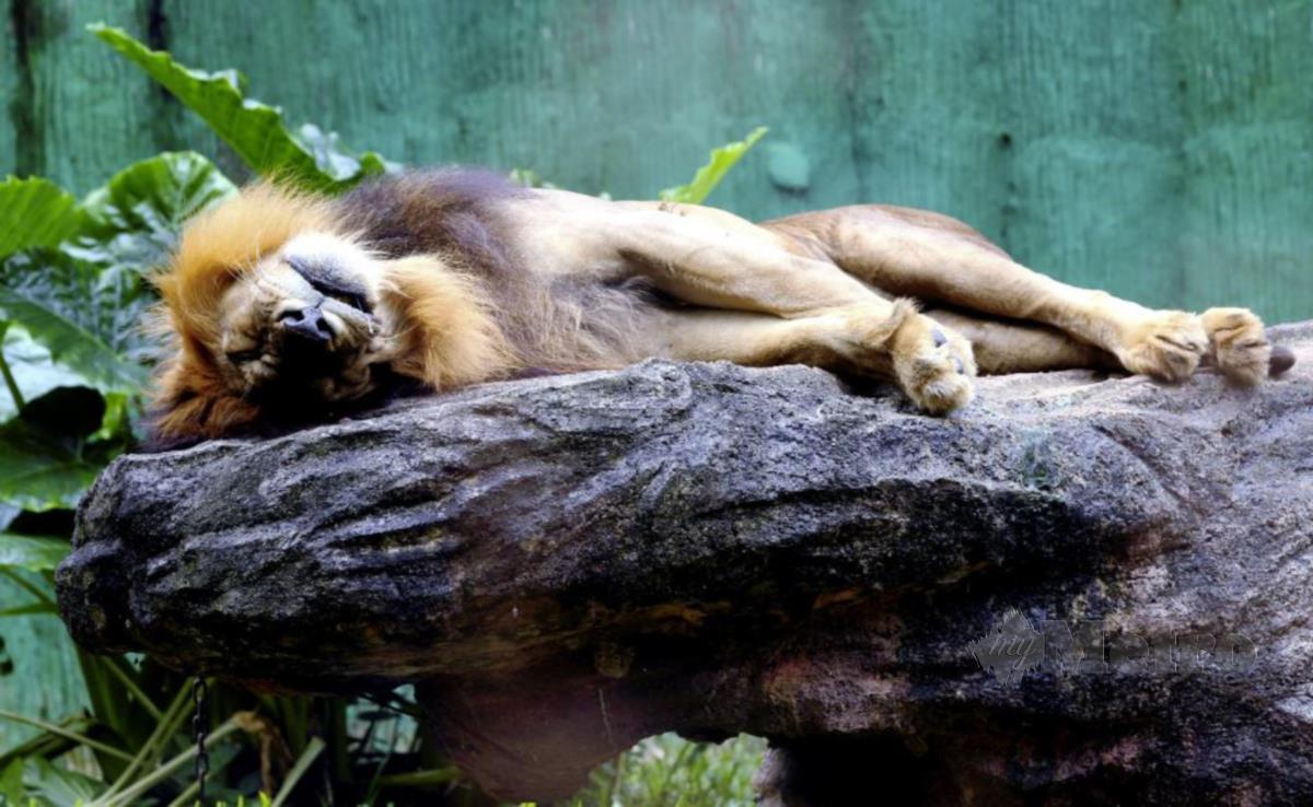 SINGA di Zoo Melaka.