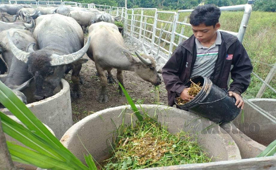 MUHAMMAD Syukur memberi kerbaunya makan selepas semua ternakan itu dikuarantin selama 28 hari. FOTO Ahmad Rabiul Zulkifli.