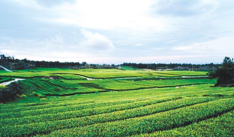 PEMANDANGAN memukau ladang teh hijau organik menjadi tarikan pelancong di Pulau Jeju.