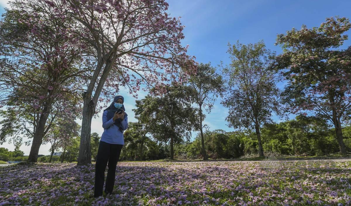 SITI Hasmah tidak melepaskan peluang melihat bunga tekoma atau dikenali dengan nama saintifiknya 'Tecoma Stans' di Bandar Spring Hill. FOTO Azrul Edham Mohd Aminuddin