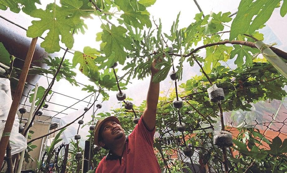Saiful Anwar Menunjukkan Kebun Dapurnya Yang Tersusun