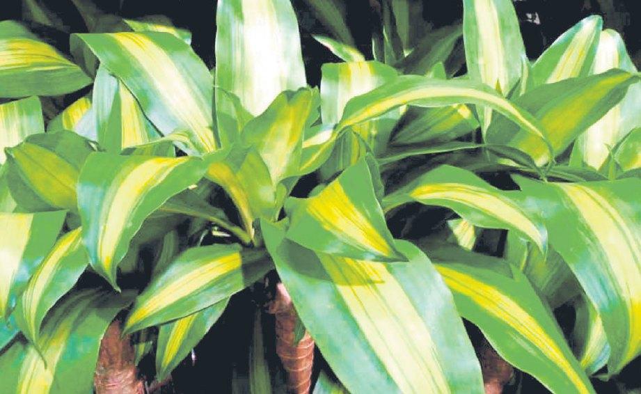 CORN plant.