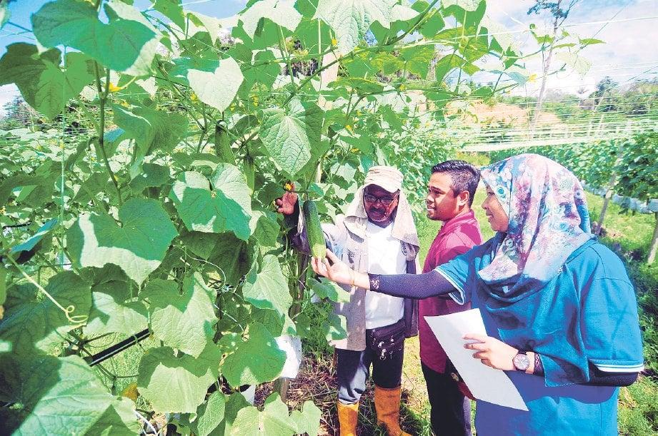 PENOLONG Pegawai PPD Raub, Nurul Azeela Mohd Nasir (kanan) memantau hasil pengeluaran timun milik Ahmad Tarmizi.