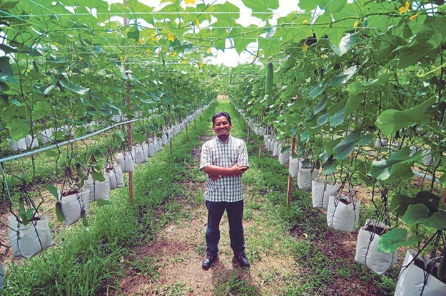 FAZRIL mengusahakan tanaman timun menggunakan fertigasi gantung.