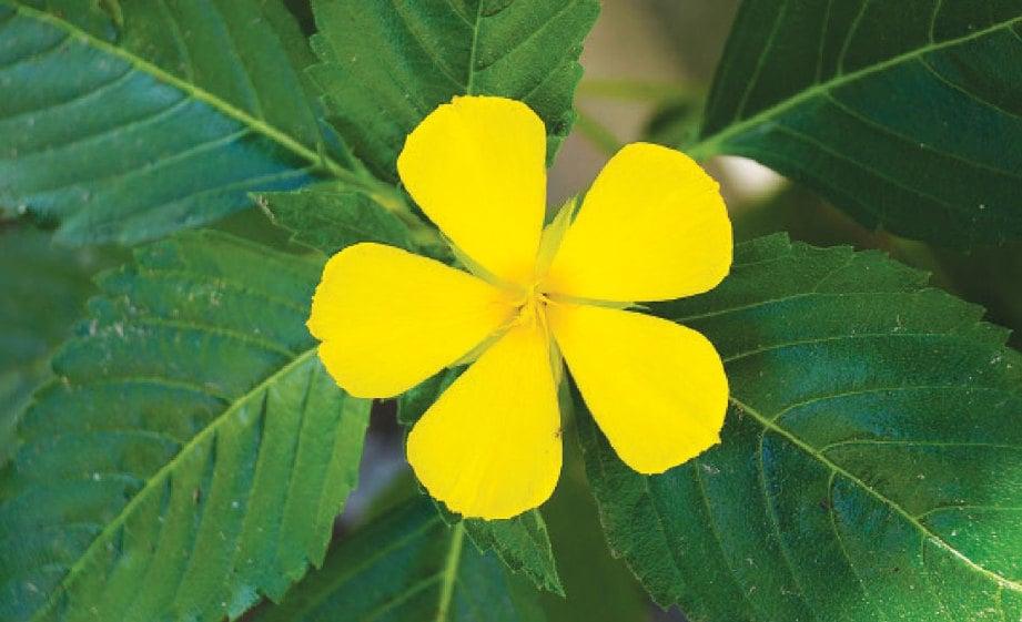 SPESIES tumbuhan yang tergolong dalam keluarga Passifloraceae ini dikatakan berasal dari Mexico dan India Barat.