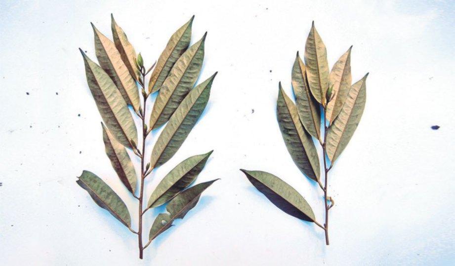 PEMILIHAN pucuk daun durian yang sihat.