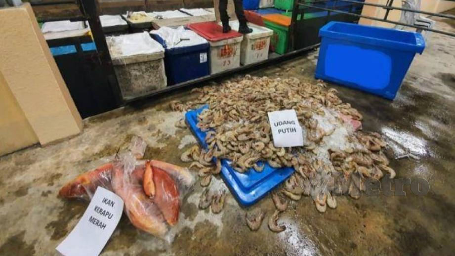 PENGUAT kuasa MAQIS menggagalkan cubaan membawa masuk udang dan ikan tanpa permit eksport ke Singapura. FOTO Ihsan MAQIS Johor