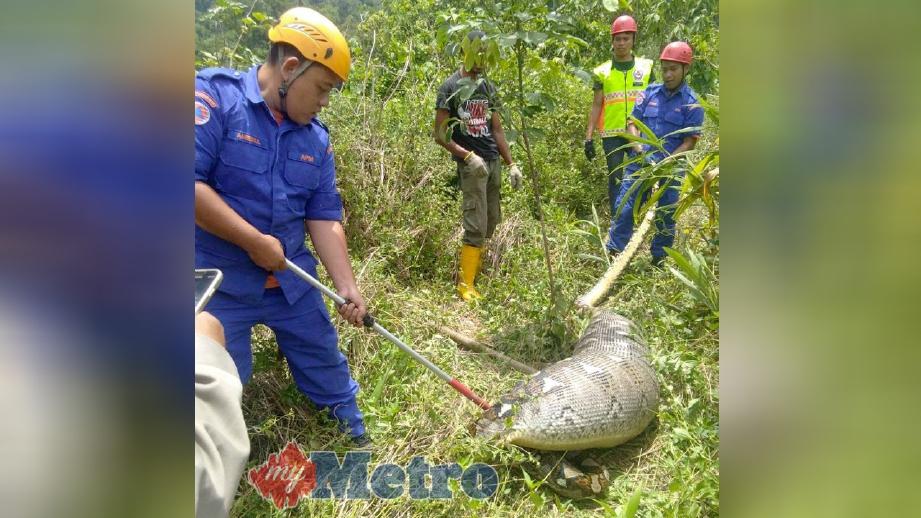 ULAR sawa batik yang kekenyangan selepas menelan kambing penduduk ditangkap anggota APM di Kampung Belukar Semang, Klian Intan, Pengkalan Hulu, hari ini. FOTO ihsan APM