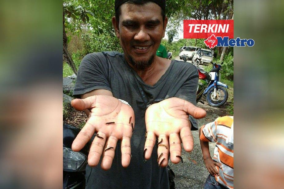 Mohd Fadzlee Mat Tahir,44, menunjukkan ulat yang tiba-tiba muncul di kampung mereka sejak seminggu lalu. FOTO Rahmat Othman