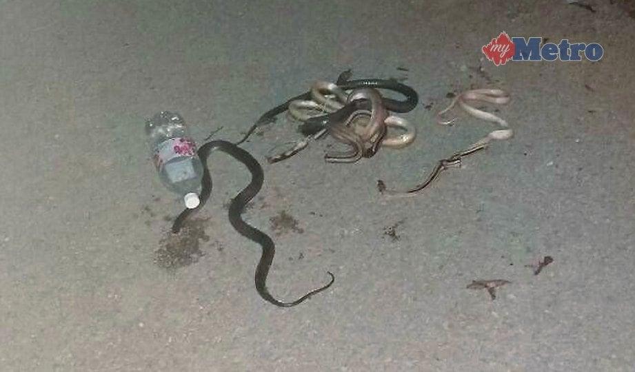 ANTARA ular yang ditangkap penduduk kampung berkeliaran di Kampung Bukit Kuang, Tanggol, Kuala Berang. FOTO Ahmad Rabiul Zulkifli