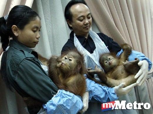 Orang Utan, Bobina (kiri) dan Citrawan (kanan) akan dihantar balik ke Indonesia esok. - Foto SADDAM YUSOFF