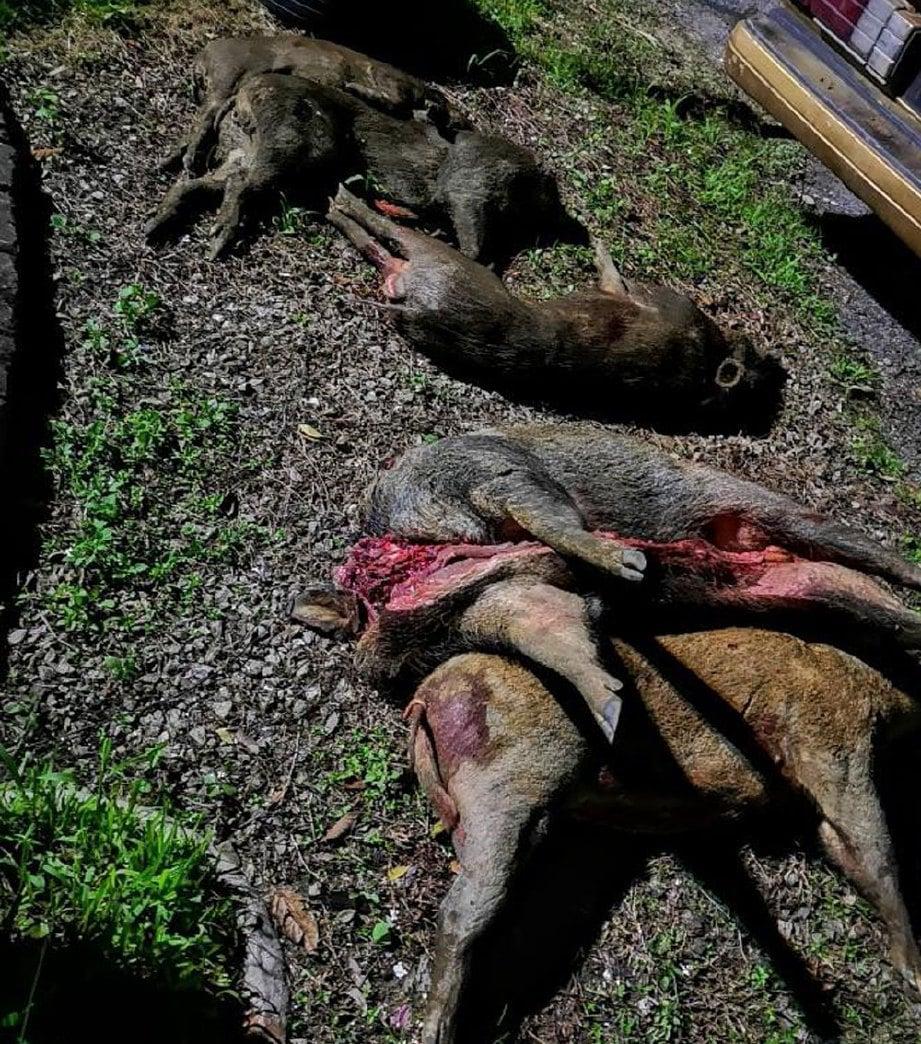 LIMA bangkai babi hutan ditemui  disembunyikan di dalam kenderaan.