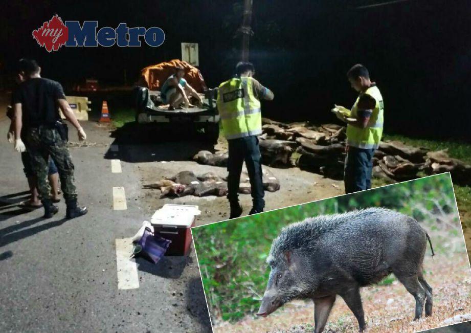 Pegawai Perhilitan memeriksa kenderaan pacuan empat roda sarat membawa daging babi hutan untuk diseludup ke negara jiran.